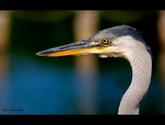 Heron (FLASH MEDIA CREATIONS) Tags: pictures nottingham uk wild england india bird heron nature birds animals advertising photography amazing interesting nikon pics fashionphotography head wildlife creative insects headshot lakeside ram tamilnadu nottinghamshire waterbirds coimbatore designing universityofnottingham professionalphotography eastmidlands foodphotography cbe productphotography prasanth fmc industrialphotography highfieldspark mywinners advertisingphotography ramprasanth jewelleryphotography photographycompany thewonderfulworldofbirds designinglogo flashmediacreations productphotographyincoimbatore industrialphotographyincoimbatore professionalphotographysolutions photographyprintinglogo coimbatoreweb ramprasanthphotography