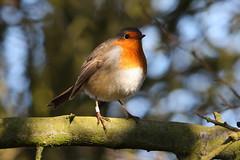 Robin (Andy_Hartley) Tags: uk england bird nature birds animals photo europe wildlife sigma warwickshire brandonmarsh canon450d sigma150500