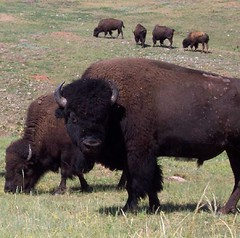 Bison, photo credit google images