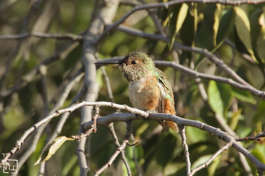 Allen's Hummingbird 102410-5