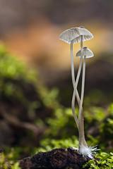 Mycena sp (JM Ripoll) Tags: barcelona forest mushrooms spain bosque fungus funghi pilze wald svamp mycology pilz champignons setas fong bosc foresta fungo bolets micologia mikologia onddo mycologie mycenasp olzinelles pilzkunde foraoise