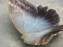Morpho Azul Gigante