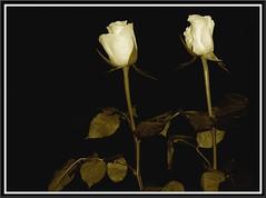 Sepia Roses (Kirsten M Lentoft) Tags: white flower rose sepia blueribbonwinner momse2600 superbmasterpiece ysplix kirstenmlentoft