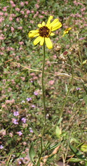 California encelia