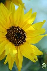 Sun Kiss Sunflower (Rareimage Photography) Tags: california fab usa flower nature beautiful closeup searchthebest sunflower marco poe soe naturesfinest blueribbonwinner supershot flickrsbest abigfave impressedbeauty ultimateshot superbmasterpiece wowiekazowie diamondclassphotographer flickrdiamond thatsclassy rareimagephotography brillianteyejewel