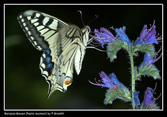 Mariposa Macaon (Papilio machaon) - by Pere Soler (Braid44)