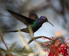 Beija-flor Tesoura (Eupetomena macroura) - Swallow-tailed Hummingbird 37 02-07-07 074 - 9 (Flvio Cruvinel Brando) Tags: brazil naturaleza color detail bird nature colors birds animal animals braslia brasil cores out ilovenature flying colorful hummingbird bokeh details natureza flight passarinho pssaro aves ave urbannature brazilian hummingbirds pajaro animais cor pssaros brasileiro beijaflor tesoura detalhe vo colibri colorida voando colorido naturesfinest picaflor swallowtailed blueribbonwinner macroura beijaflortesoura colibris birdsoftheworld featheryfriday birdphoto eupetomenamacroura beijaflores picaflores animaladdiction swallowtailedhummingbird eupetomenamacrourus flviocruvinelbrando eupetomena