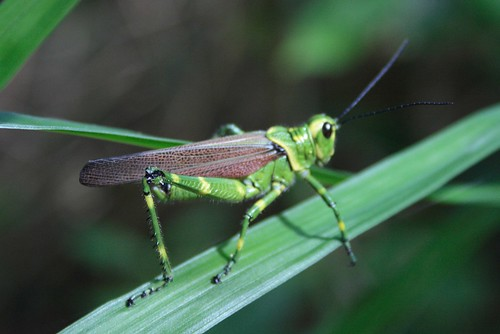 Green Cricket - Grasshopper