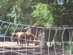 Horses behind fence