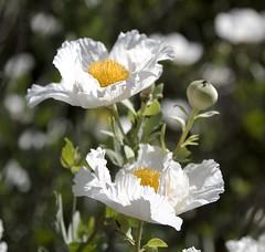 White poppy (edwinsail) Tags: white poppy canoneos5d flickrsbest yanaedwinmurphy