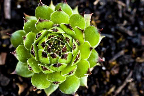 Vetplantje van dichtbij