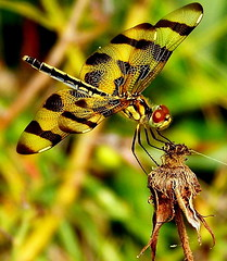 stripes (GGoddessS) Tags: beautiful insect bravo dragonfly stripes wildlife halloweenpennant flickrsbest specnature goosegoddesss goosegoddess paulinabos storybookwinner