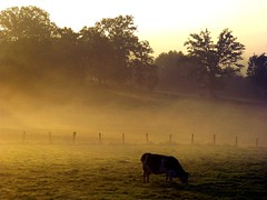 (#avril#) Tags: dawn cow haze pasture daybreak