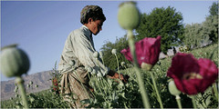 Afghan Opium Fields - Narcotistan (howsthat) Tags: cameraphone barcelona china california africa birthday christmas city family flowers blue camping friends pakistan england blackandwhite bw food dog baby chicago canada afghanistan black france flower color berlin cute bird art history film beach church car amsterdam animals festival boston architecture clouds cat canon garden de geotagged fun dance concert war europe day florida band australia soviet april opium southasia subcontinent howsthat