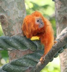 ZA 600 (kuku4pandas) Tags: atlanta zooatlanta zoos tamarins