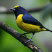 Euphonia, Peace Lodge, Costa Rica - 9