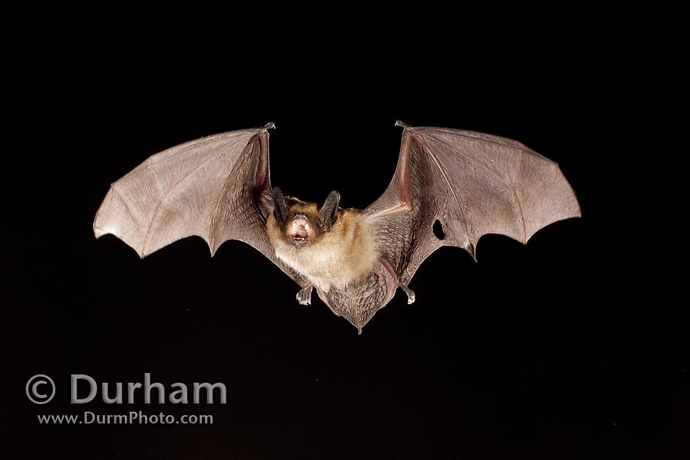 bat with wing injury