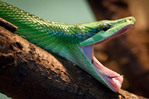 フリー写真素材, 動物, 爬虫類, 蛇・ヘビ, 口を開ける,