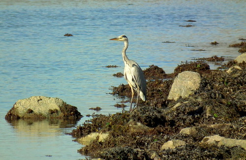Heron on Lookout Duty