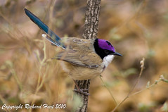 Purple-crowned Fairywren (SillyOldBugger (in and out of internet range)) Tags: male bird nationalpark australia aves queensland avian fairywren malurus redbackedfairywren malurusmelanocephalus maluruscoronatus purplecrownedfairywren lawnhillnationalpark minolta3004hsg sonya55 sonyalpha55 sonydslta55 boodjamullanationalpark wildbirdaustralia
