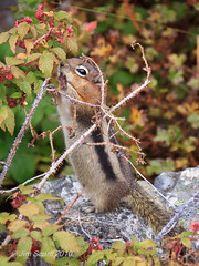 Mmmmm, fresh berries! (Jim Scarff) Tags: canada wildlife alberta mammals rodents banffnationalpark groundsquirrels goldenmantledgroundsquirrel noamericanmammals sciuridssquirrels