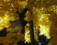 Happy Golden Friday!!! (Kooklamou - MA., USA) Tags: autumn trees light color home nature beautiful sunshine yellow yard makesmehappy blessings landscape outside outdoors gold colorful glow quiet afternoon good glory happiness grace foliage deck attitude golds yellows friday 1001nights maples changes rg myneighborhood mapletrees beautifulday thinkingofyou naturelover yellowglow thegoldenhour theymakemehappy makesmefeelbetter