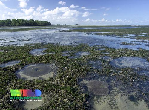 Seagrass lagoon of Chek Jawa