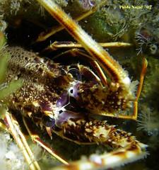 img200706090503pn7.jpg (coismarbella) Tags: mergulho dive scuba diving buceo submarinismo tauchen plonge crustaceos