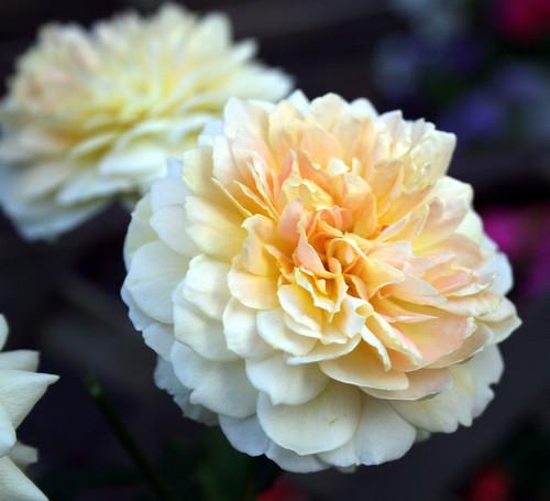 Moulinex rose