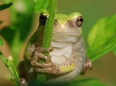 [フリー画像] [両生類] [蛙/カエル] [緑色/グリーン]        [フリー素材]