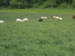 goats grazing orchardgrass in 2007 test