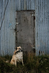 On guard (Fra mn) Tags: dog dogs iceland sheepdog icelandic bangsi icelandicsheepdog