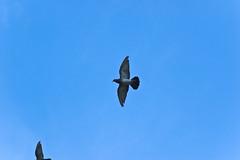 Pigeon voyageur (Sara?) Tags: blue sky bird fly pigeon oiseau 85mmf14