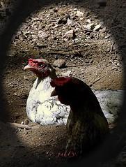 ก.ไก่ . . ขอไข่.