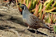 joe quail2
