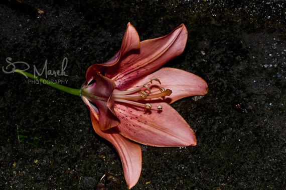 A lily in the gutter