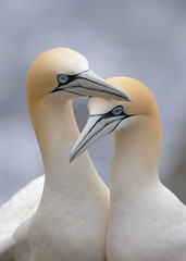 Gannet (Morus bassanus) (Ronan.McLaughlin) Tags: blue sea white nikon marine cliffs shore wexford seabirds gannet saltee morusbassanus d90 nestingbirds sigma150500 ronanmclaughlin mariitime