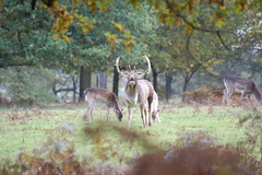 DSC_0507 (Tony Gillon) Tags: autumn dunhammassey deerpark