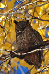 Great Horned Owl (Explored) (Photography Through Tania's Eyes) Tags: blue autumn sky canada tree bird fall nature leaves animal yellow fauna photo bill wings nikon photographer bc britishcolumbia okanagan wildlife branches beak feathers picture photograph owl trunk birdofprey greathornedowl audubon birdwatcher okanaganvalley peachland copyrightimages hardyfallsregionalpark taniasimpson flickrbirdbrigade