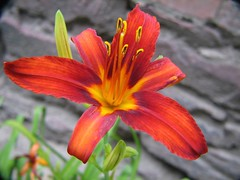 Day Lily (audreyjm529) Tags: orange flower macro green leaves yellow petals stem day lily stamen anther
