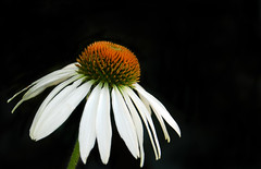 White Cone Flower - by wishymom (Stephanie Wallace Photography)