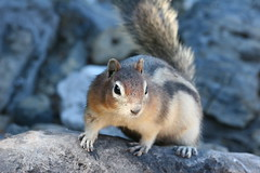 Golden-mantled ground squirrel (SimonWhitaker) Tags: canada kananaskis rockies alberta 100400mm upperkananaskislake goldenmantledgroundsquirrel spermophiluslateralis spermophilus