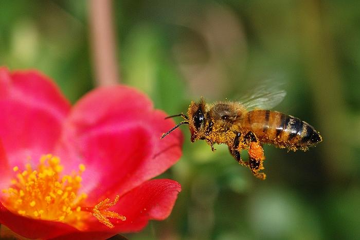 蜜蜂0035