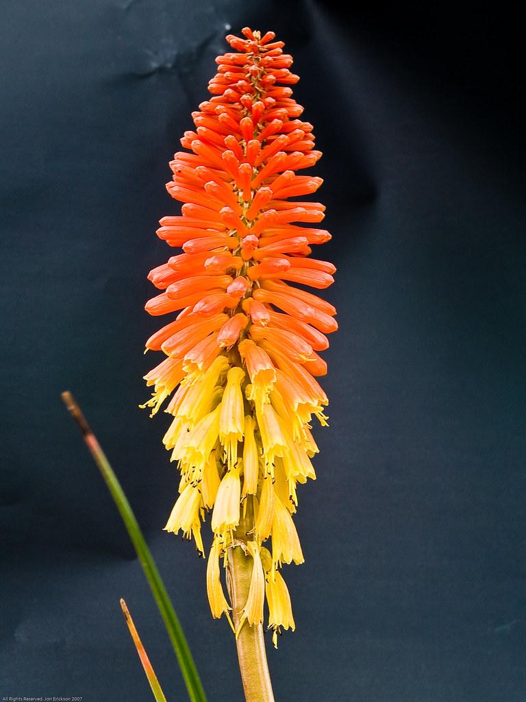 Poker Plant Flower 2