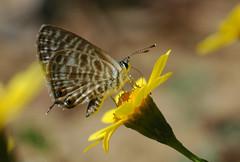 Syntarucus pirithous (David Lev) Tags: plants flower yellow butterfly insect bravo bloom mygarden nirim impressedbeauty 1on1allbugs diamondclassphotographer flickrdiamond naturewatcher