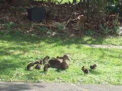 duck rescue 10