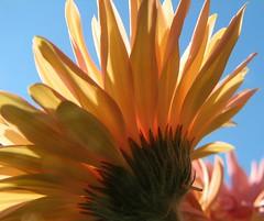 Back Of Gerber Daisy In The Sky (audreyjm529) Tags: pink blue sky macro green yellow back stem under daisy gerber