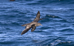 Wedge-tailed Shearwaters (shyalbatross232) Tags: birds canon canon20d australia aves september newsouthwales shearwater seabirds 2007 wollongong pelagic wedgetailedshearwater puffinuspacificus darkmorph puffinus pacificus wedgetailed