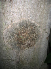 Beech Bark Disease (syzygy salvage) Tags: beech fagus nectria beechbarkdisease barkdisease