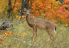 An Autumn Doe (nature55) Tags: autumn fall nature wisconsin outdoors woods searchthebest wildlife doe mercer deer northwoods takeabow nature55 mywinners impressedbeauty flickrdiamond